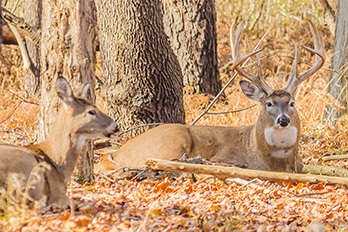 What is the Lock-Down Phase of the Rut?